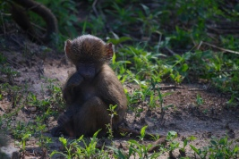 A baby baboon!