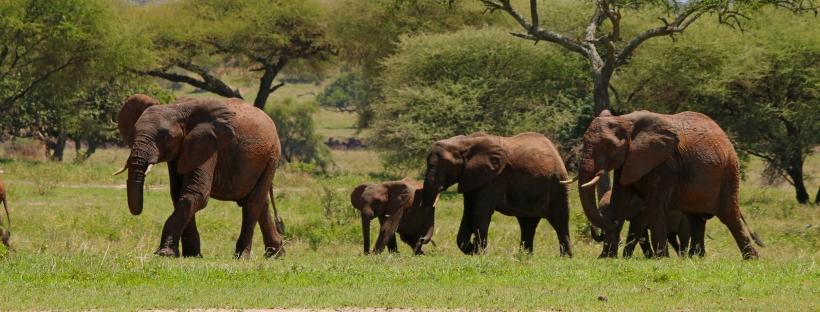 herd of elephants walking